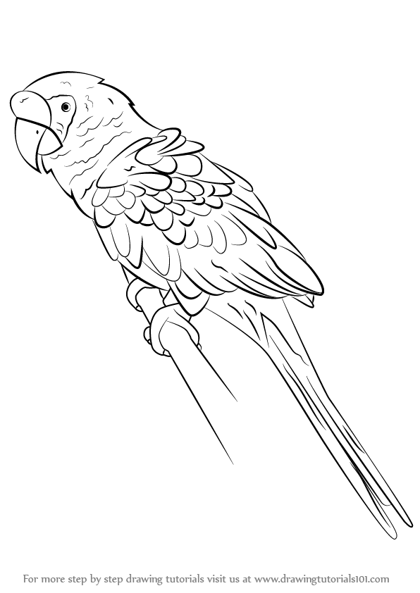 596x842 Learn How To Draw A Military Macaw (Parrots) Step By Step