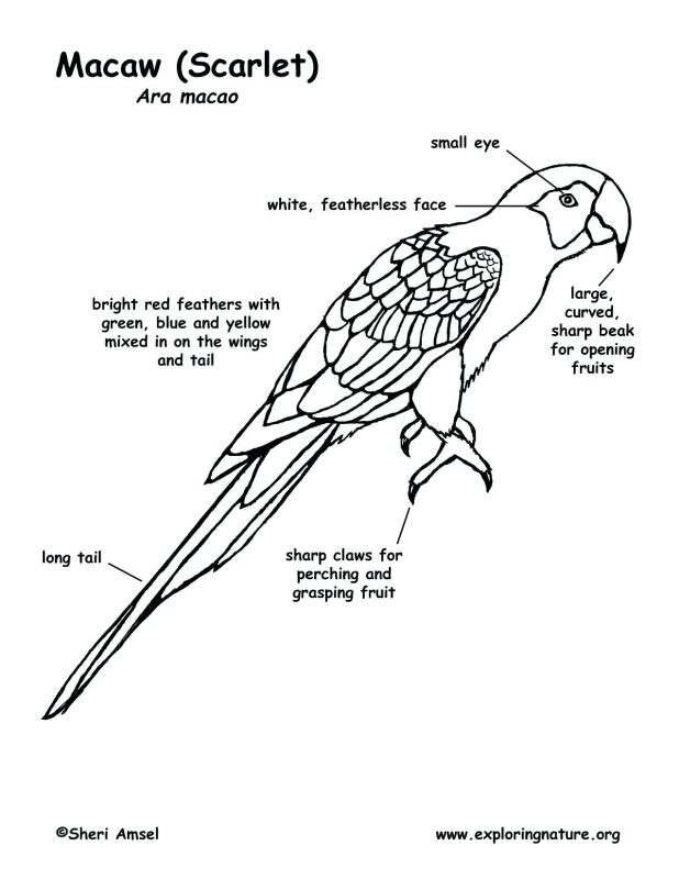 618x800 Macaw Coloring Page Scarlet Sheet Blue And Yellow Gold Pages Free