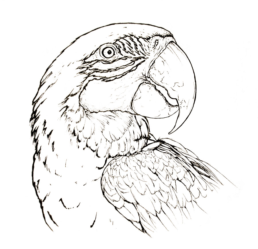900x868 Blue And Yellow Macaw Parrot Animal Coloring Page Mdubillustrations