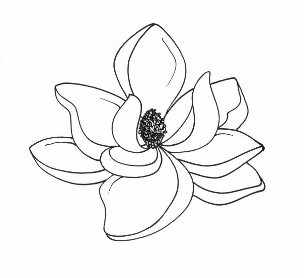 Magnolia Drawing