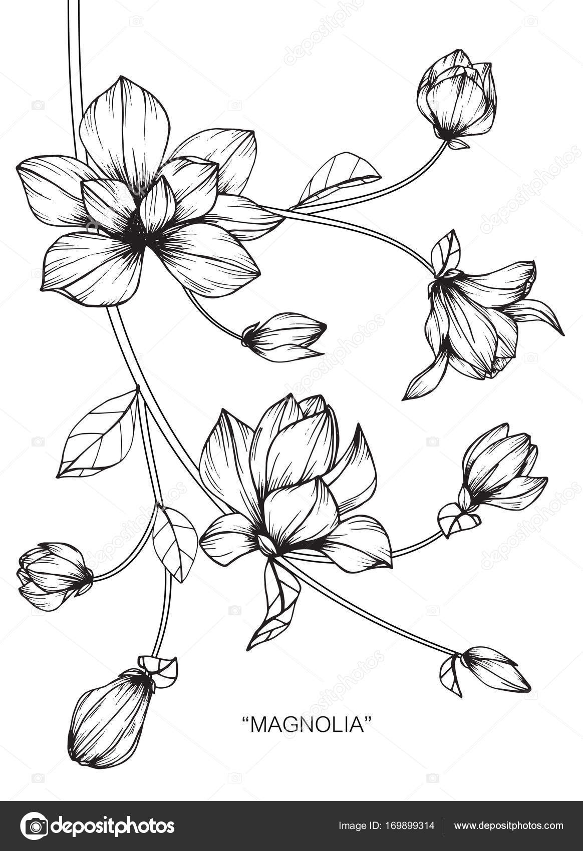 1164x1700 Magnolia Flower Drawing Sketch Black White Line Art Stock Vector