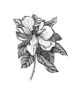 254x300 Magnolia Flower Drawings