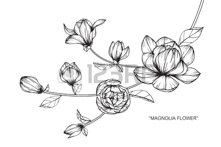 450x300 Magnolia Flower. Drawing And Sketch With Black And White Line Art