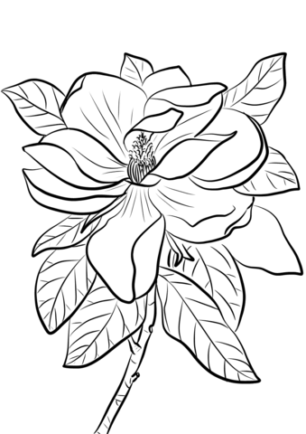 339x480 Magnolia Grandiflora Coloring Page Free Printable Coloring Pages