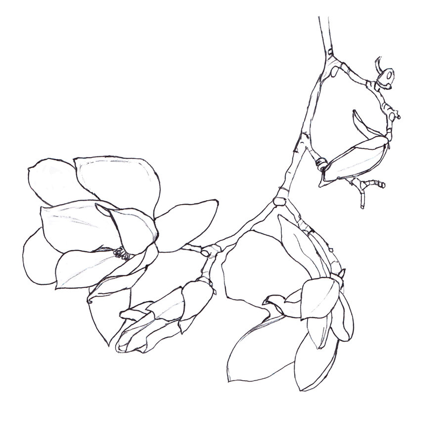 900x900 Magnolia Outline By Elvenmaedchen