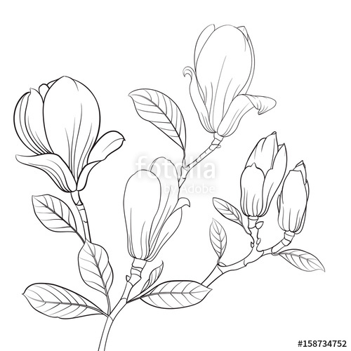 500x500 Magnolia Blooming Flower. Linear Sketch Of Magnolia Flower. Line