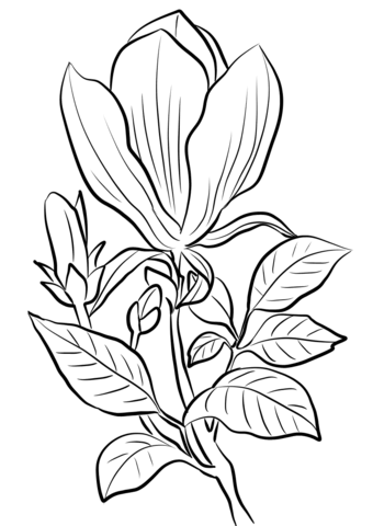 340x480 Magnolia Coloring Pages Free Coloring Pages