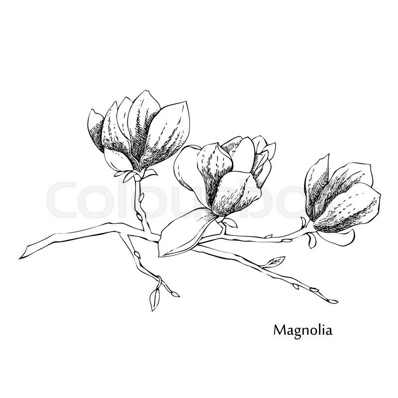 800x800 Magnolia.sketches Of Flowers. Vector Hand Drawn Illustration
