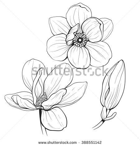 450x470 Photos Magnolia Flower Sketch,