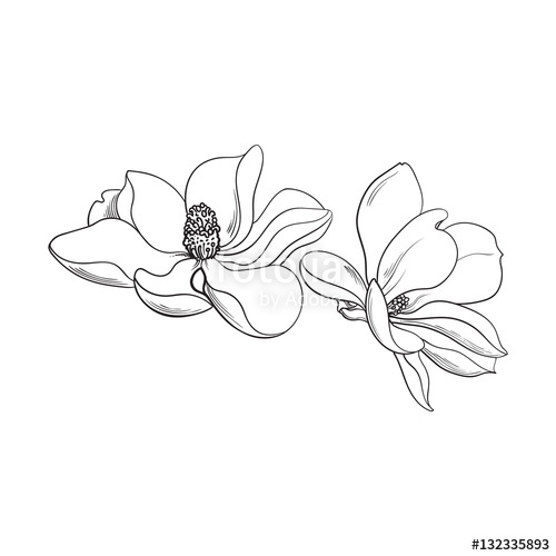 500x500 Two Magnolia Flowers, Sketch Style Vector Illustration Isolated