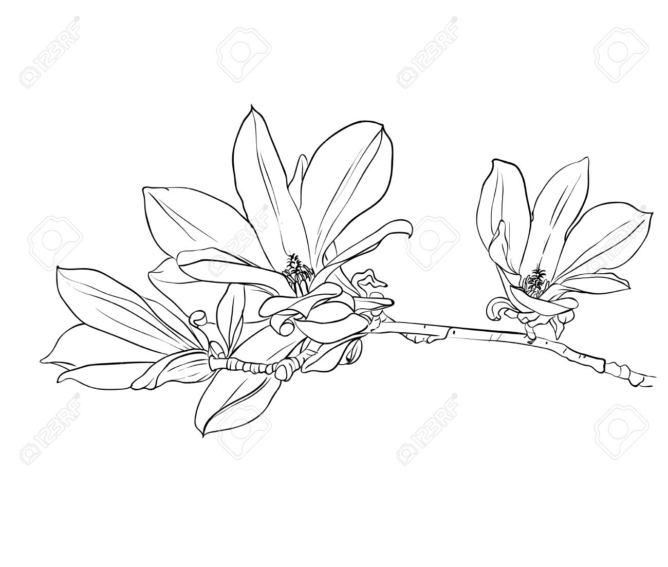 1300x1104 Hand Drawn Magnolia Flowers. Hand Drawn Realistic Sketch. Royalty