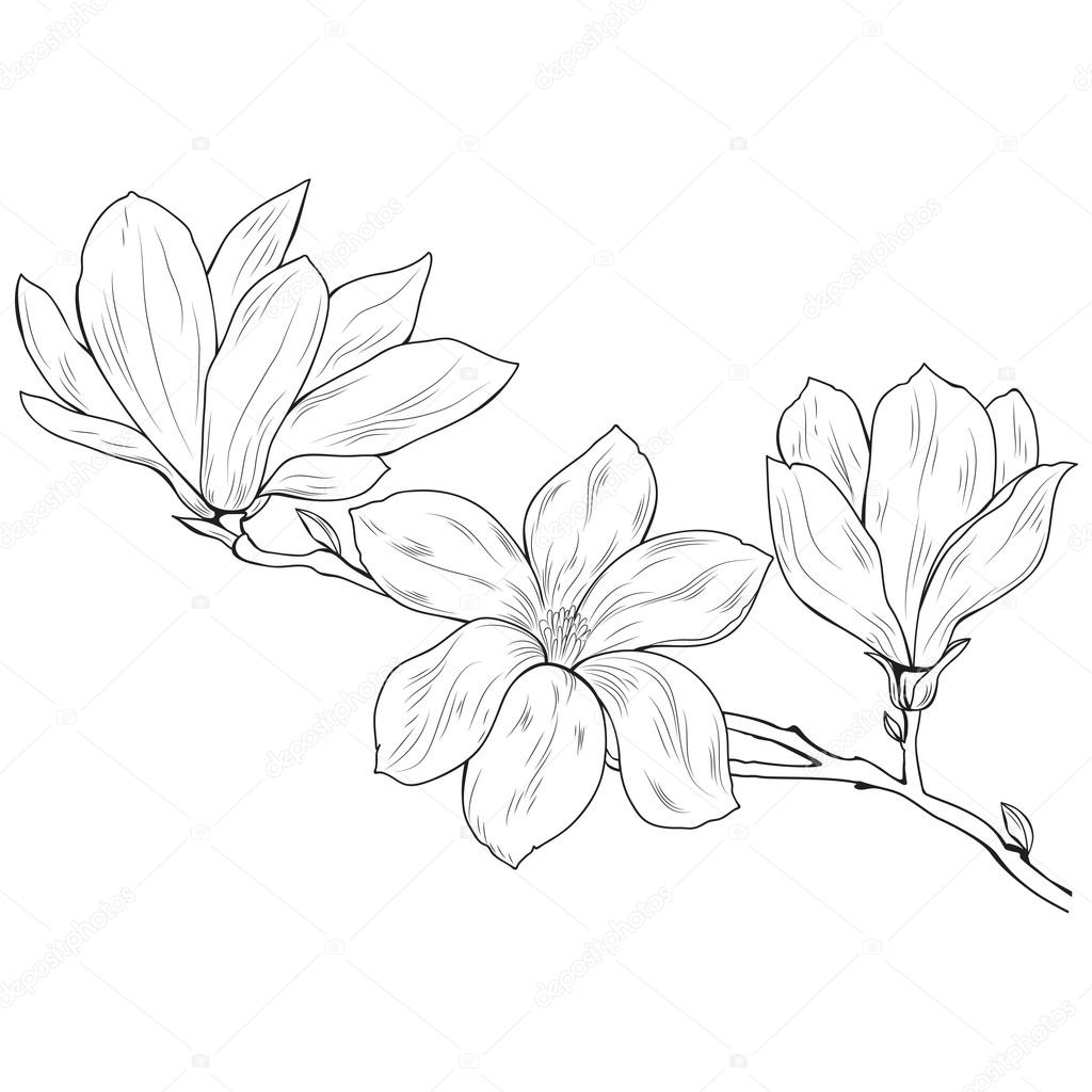 1024x1024 Magnolia Flowers On A Tree Branch, Sketch, Black On White