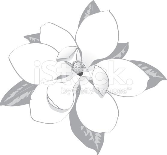556x519 Top 97 Magnolia Flower Clipart