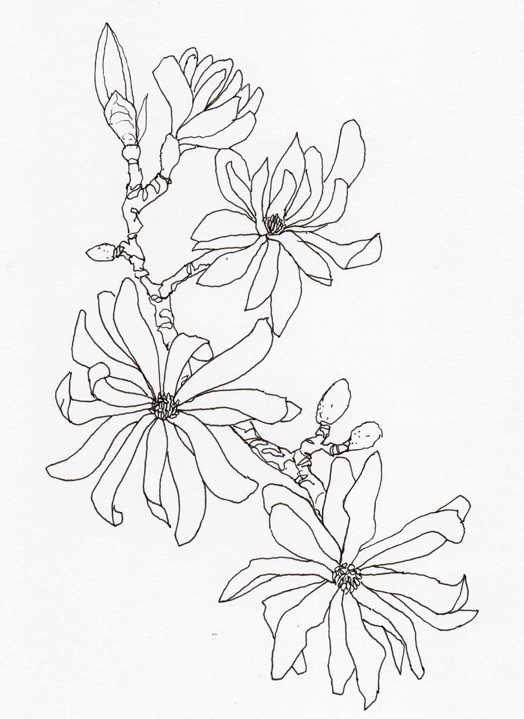 1726x2370 Drawing Magnolia Stellata2 Veitch Lamp Post Trail