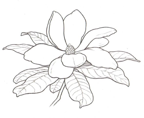 590x483 Magnolia Tree Coloring Pages