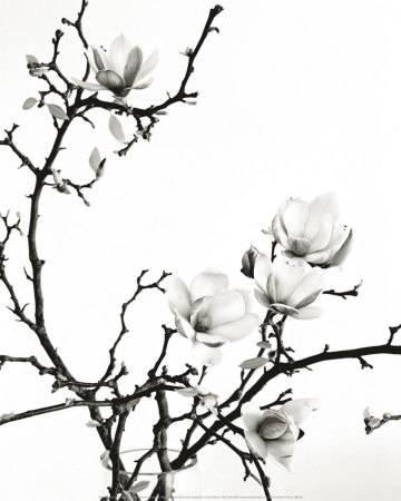 360x450 Magnolias Black And White Photography, Posters And Prints