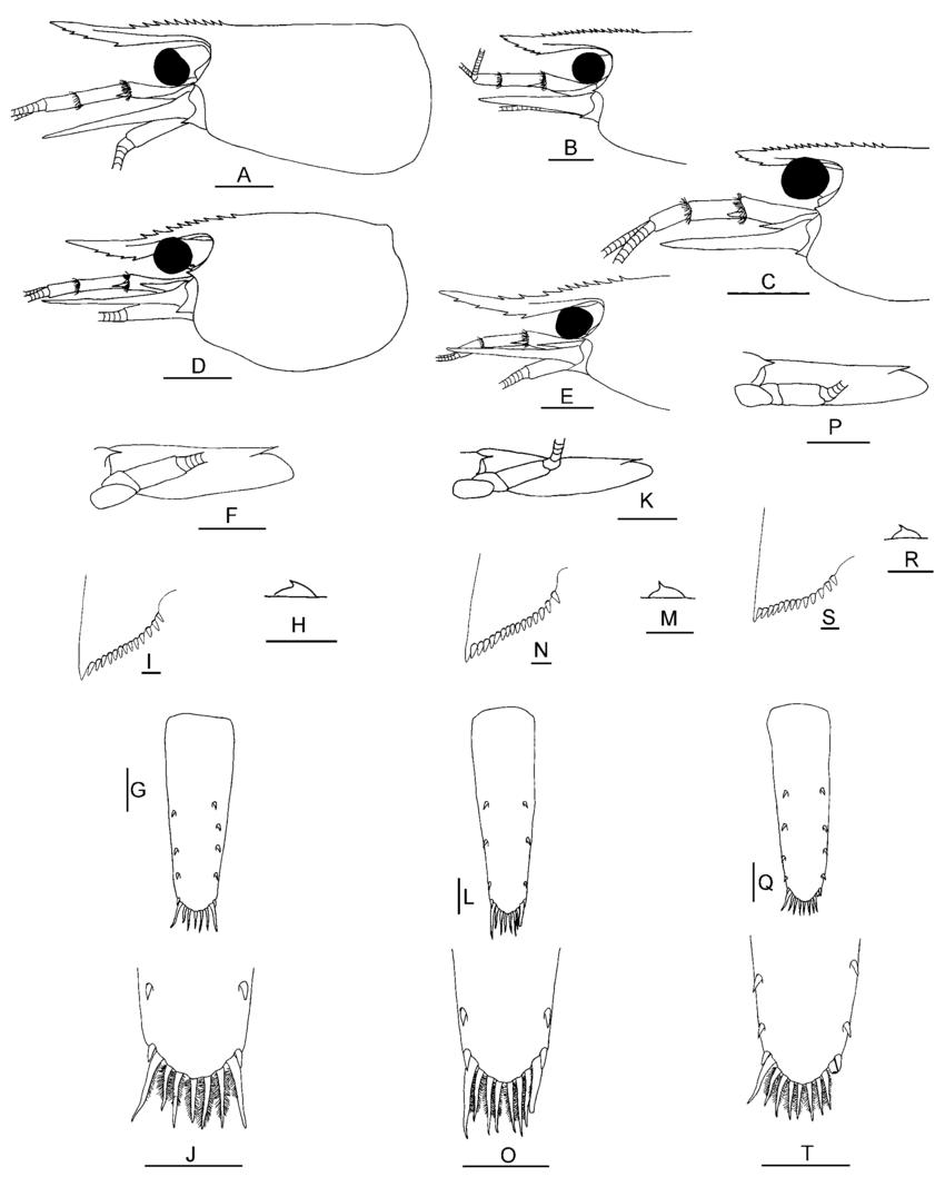850x1058 Caridina Mahalona From The Malili Lake System (Each Of The Three