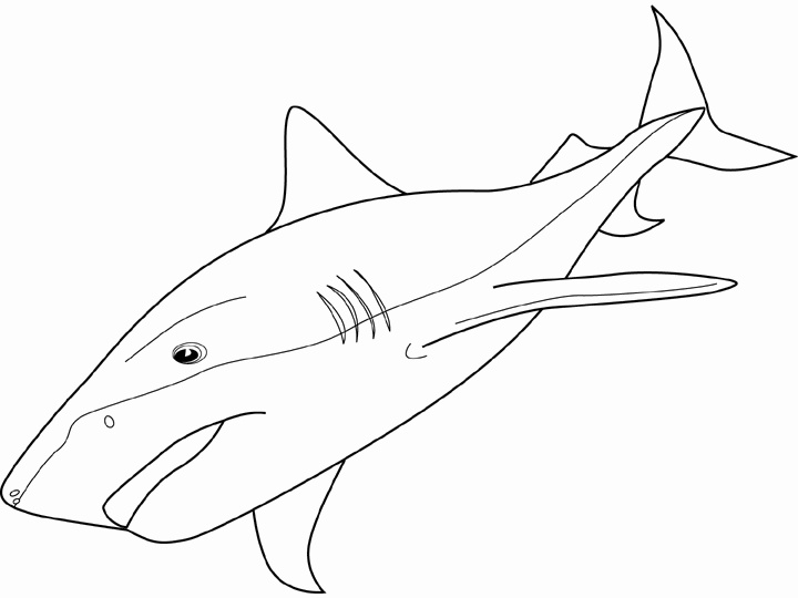 Mako Shark Drawing