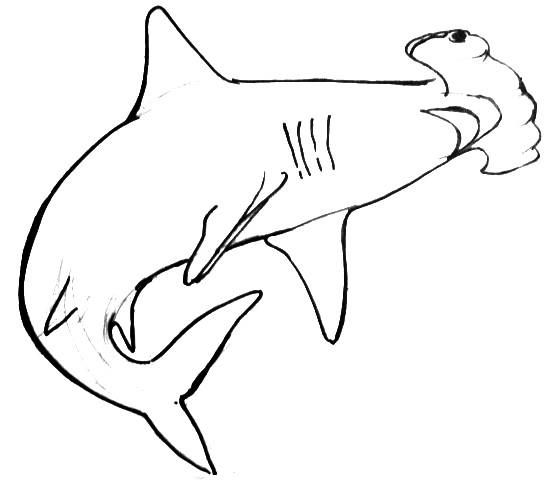 558x480 Hammerhead Shark Drawings Hammerhead Shark Drawing Step By Step