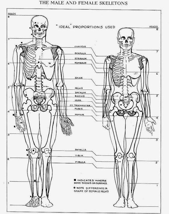 562x712 Anatomy Male Vs Female Drawing