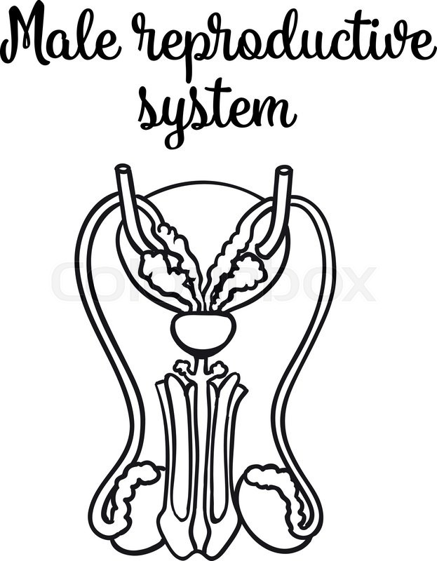 623x800 Male Reproductive System, Vector Sketch Hand Drawn Illustration