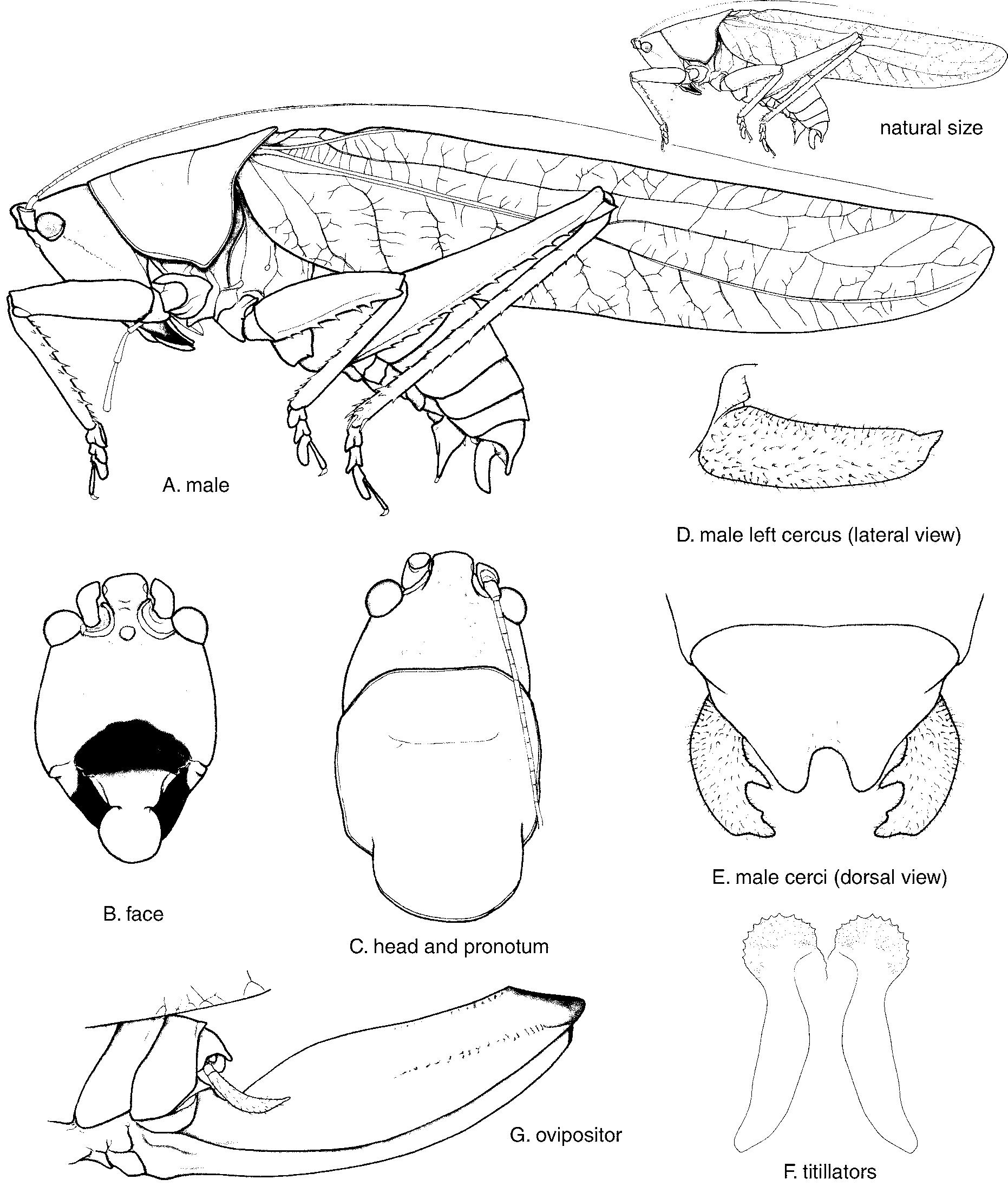 1862x2190 Erioloides Hebard 1927