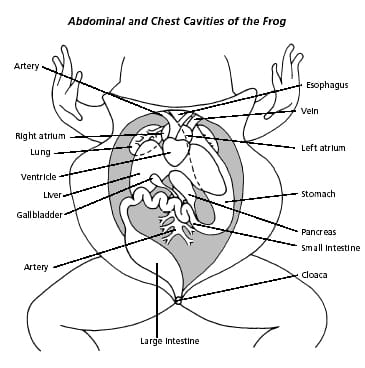 365x368 Male Female Frog Internal Anatomy
