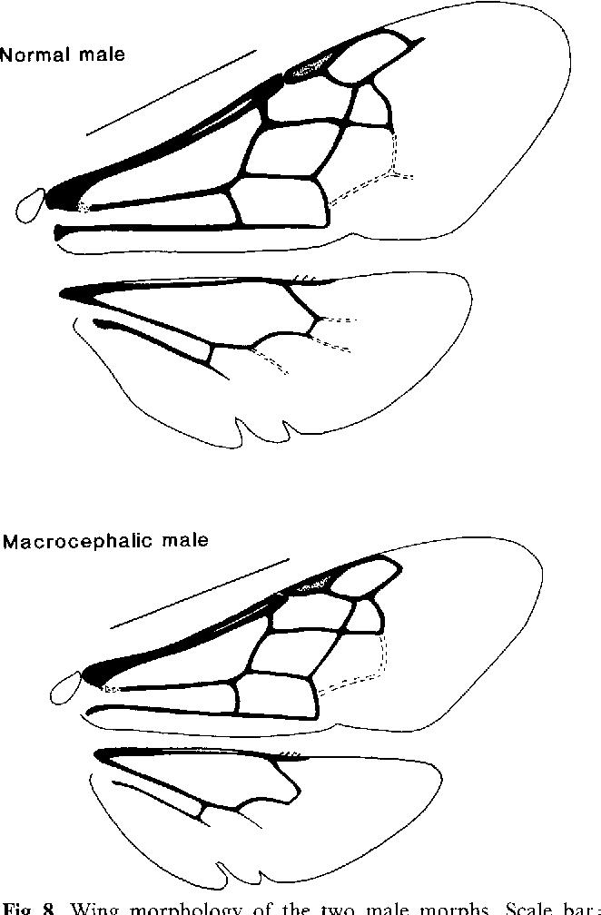 662x1008 The Morphology And Behavior Of Dimorphic Males In Perdita Portalis