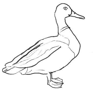 366x359 18 Best Mallard Duck Drawings Images On Art