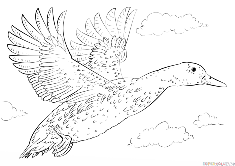 813x575 How To Draw A Mallard Duck Step By Step Drawing Tutorials