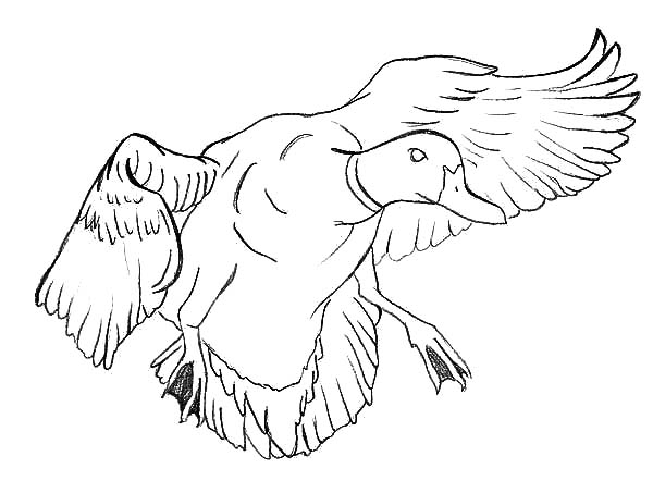 600x442 mallard duck near to landing coloring pages color luna