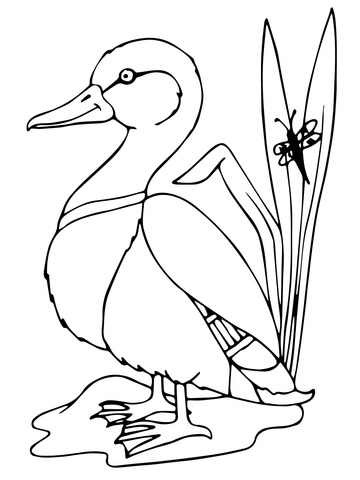 360x480 Mallard Duck Coloring Page Free Printable Coloring Pages