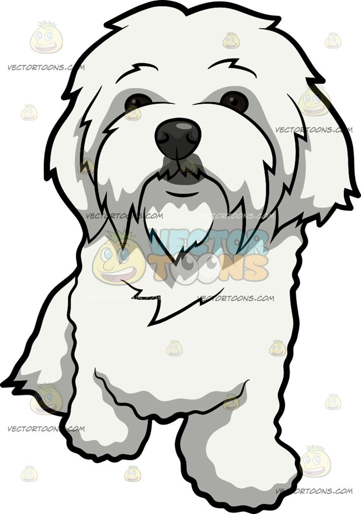 720x1024 A Curiously Cute Maltese Dog Maltese, Dog And Outline Drawings