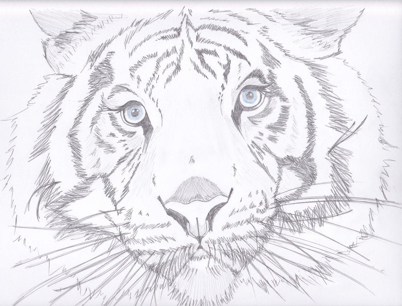 1280x973 Maltese Tiger By Cbluv