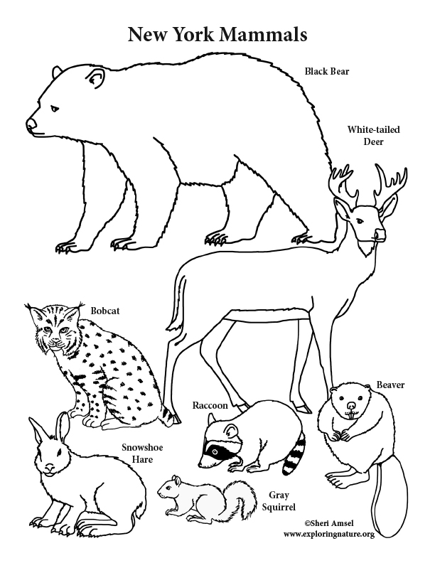 612x792 New York State Mammals Coloring Page