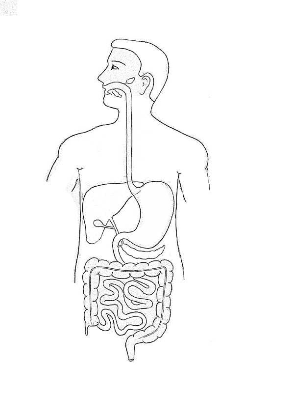 600x800 Draw It Neat How To Draw Human Digestive System