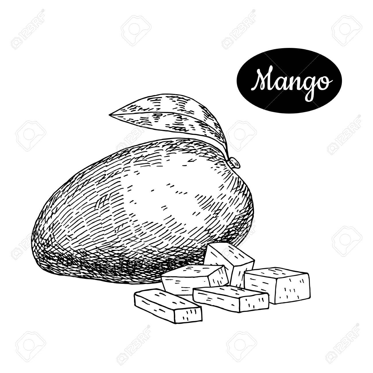 1300x1300 Fresh Mango Hand Drawn Sketch Style Tropical Summer Fruit Vector
