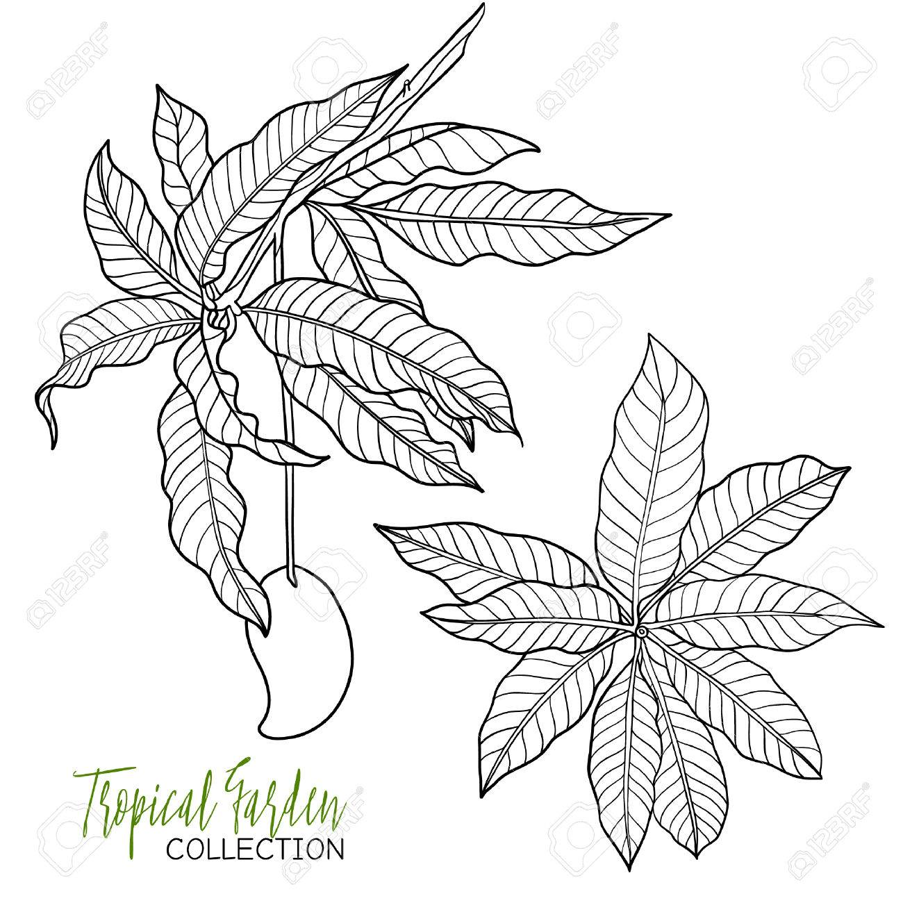 1300x1300 Mango. Tropical Plant. Vector Illustration. Coloring Book