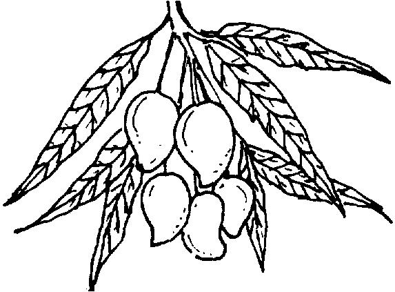 573x423 Black And White Clipart Mango