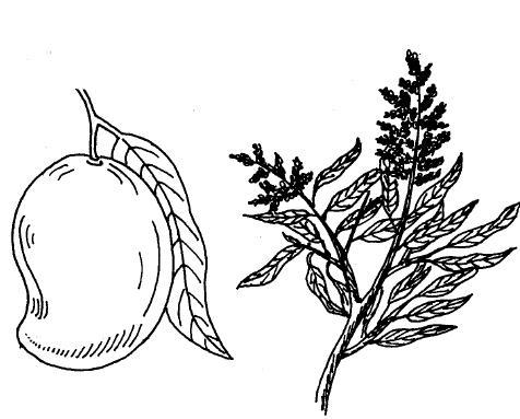476x383 gallery pencil sketch of mango