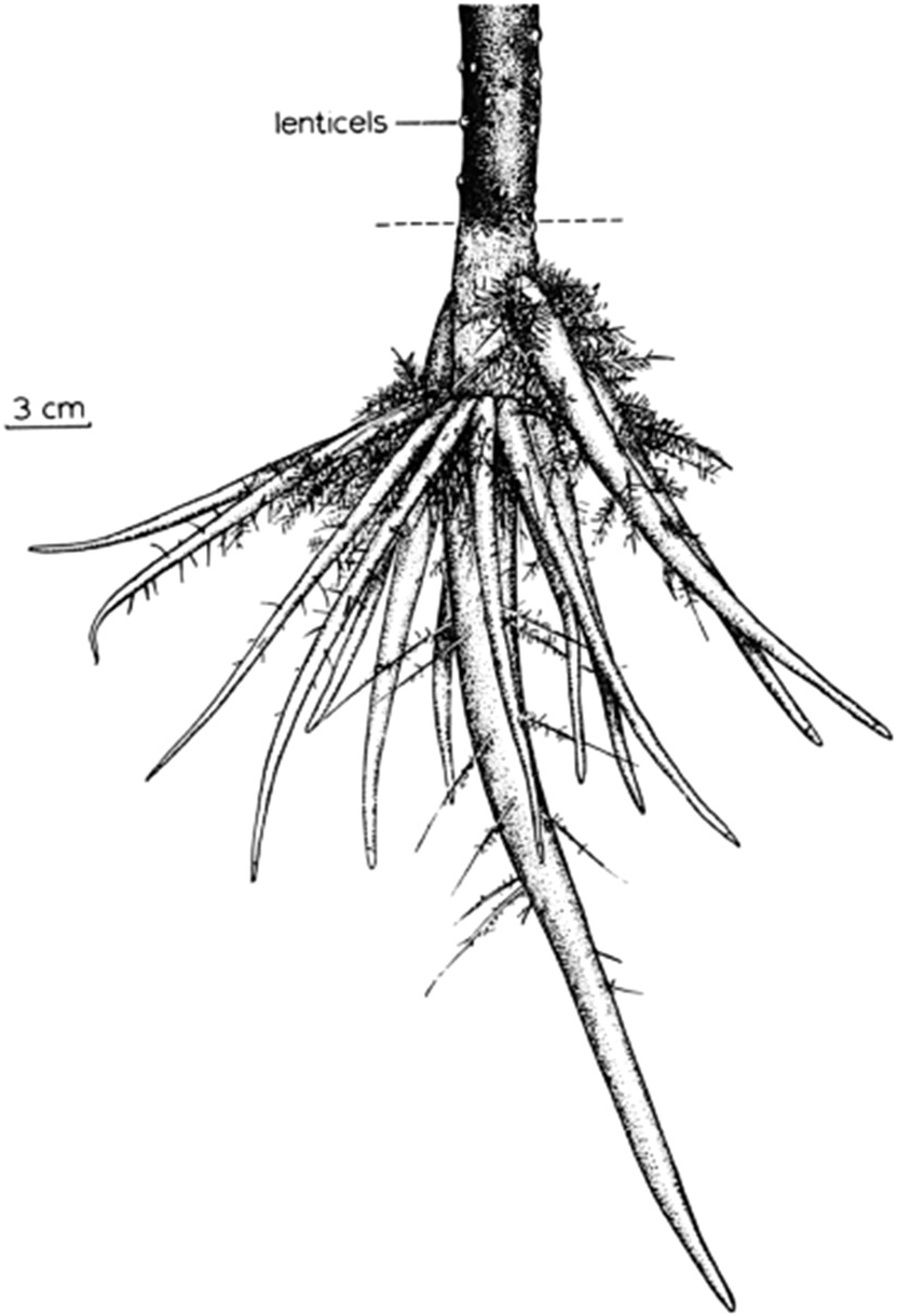 831x1219 Root Systems