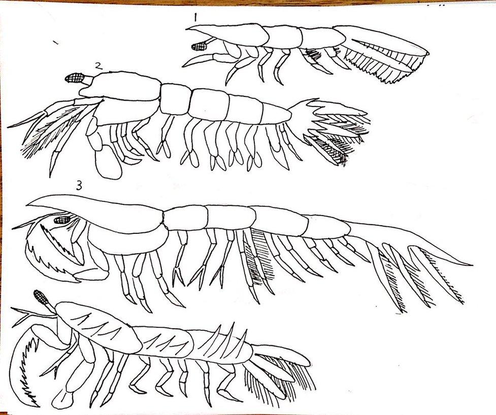 977x818 Mantis Shrimp 1 By Nevert013