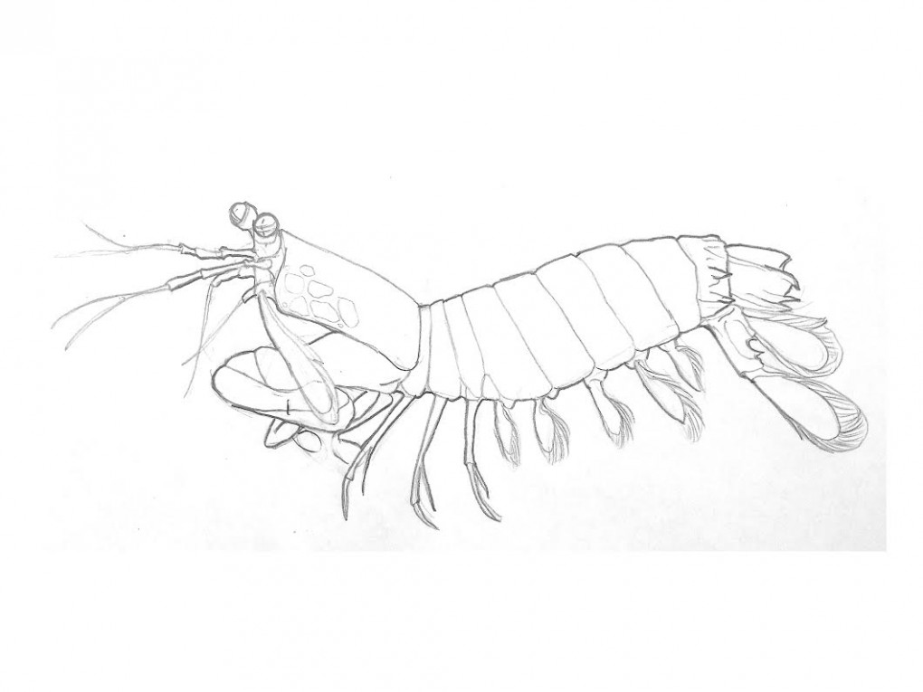 1020x765 The Mighty Peacock Mantis Shrimp Colouring Page! Imagined
