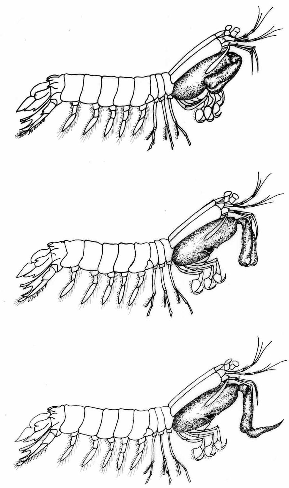 972x1644 Mantis Shrimp