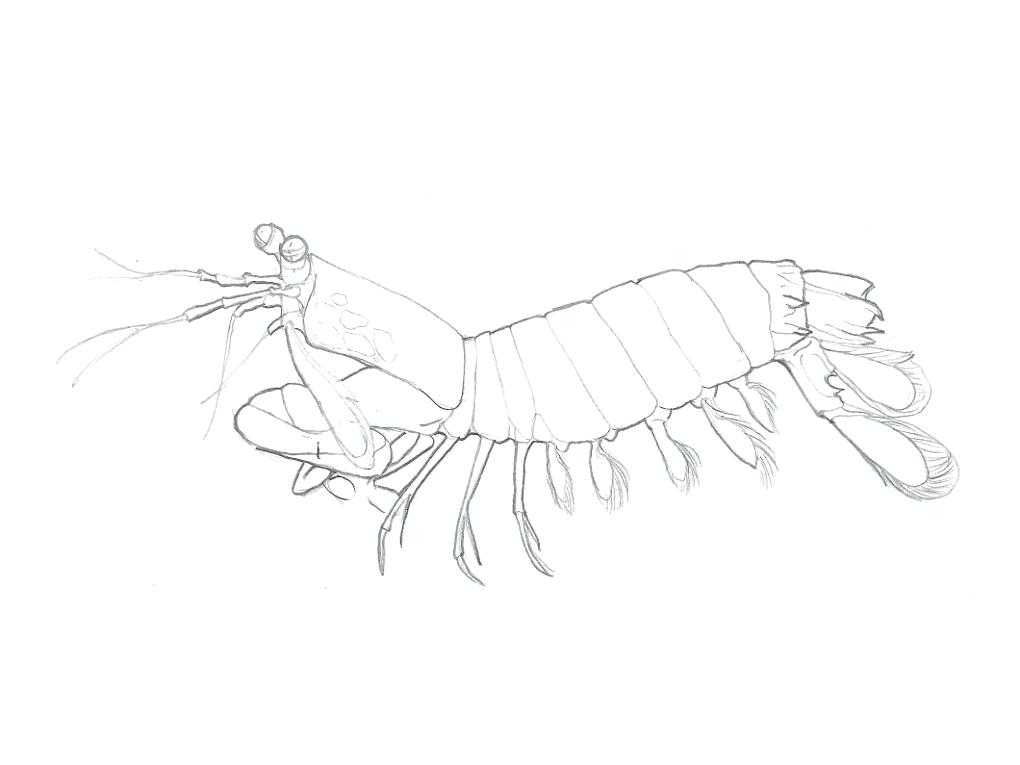 1020x765 Shrimp Animal Coloring Pages Transasia