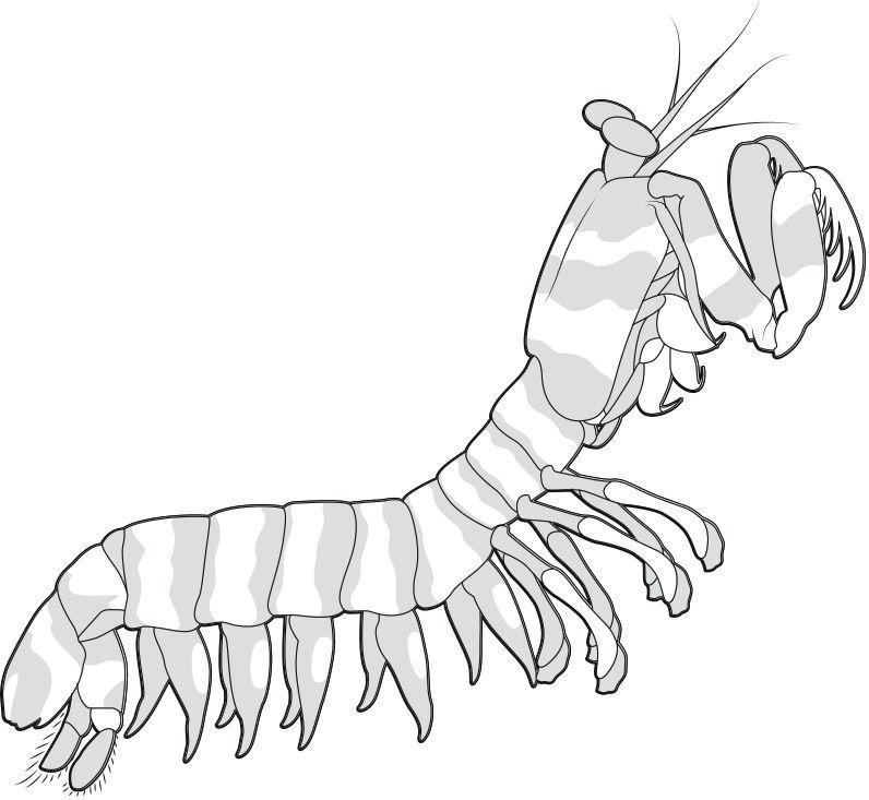 796x733 Image Result For How To Draw Mantis Shrimp Cirque Project