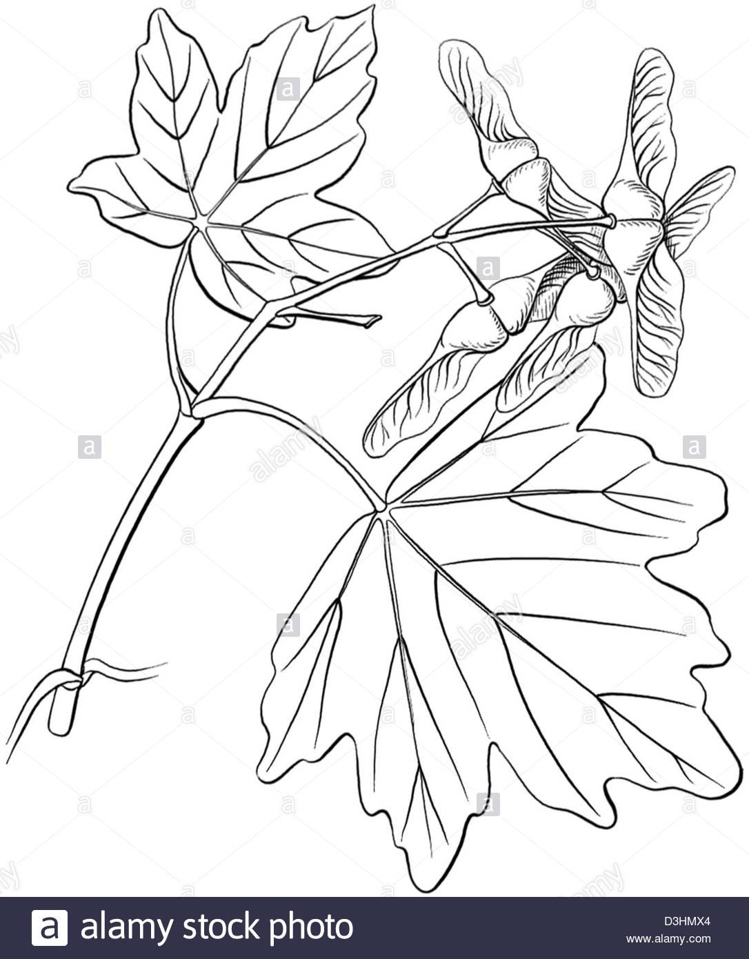 1086x1390 Field Maple, Drawing Stock Photo 53864668