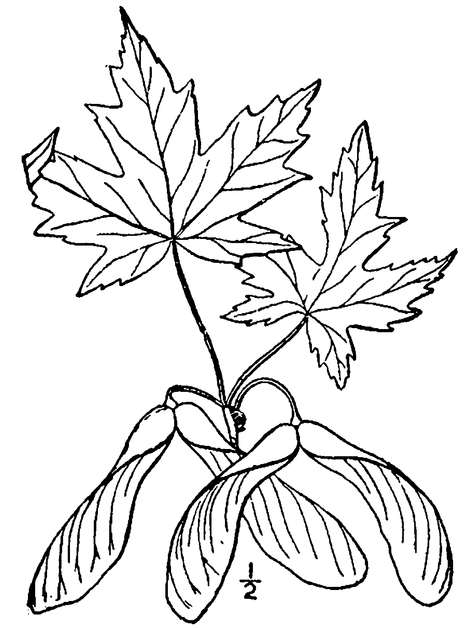 1482x2000 Fileacer Saccharinum Drawing.png