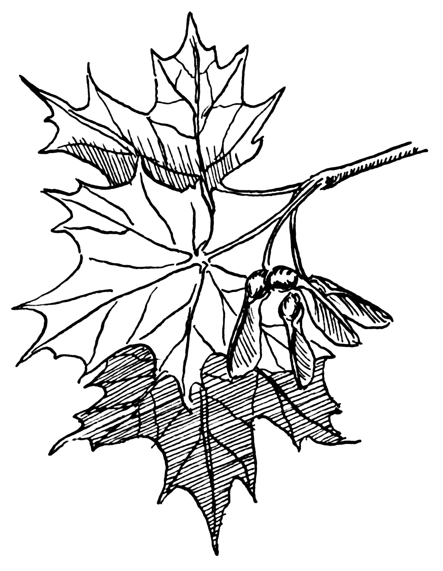 1480x1908 Filesugar Maple (Psf).png