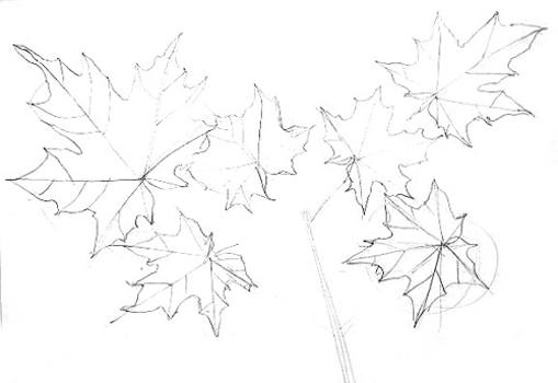 509x350 Maple Tree Leaves Drawing 024